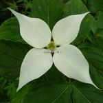 Cornus kousa White Giant (3)