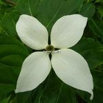 Cornus kousa White Giant (4)