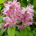 Deutzia hybrida Perle Rose (11)