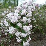 Deutzia rosea (2)