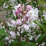 Deutzia rosea Carminea (1)