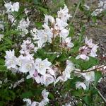 Deutzia rosea Carminea (2)