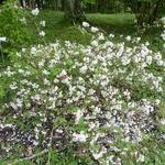 Deutzia rosea Carminea