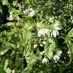Deutzia scabra Punctata (3)
