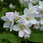 Deutzia Pride of Rochester (2)