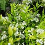 Deutzia gracilis Aurea (3)