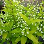 Deutzia gracilis Aurea