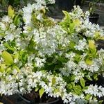 Deutzia gracilis Variegatum