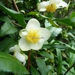 Camellia sinensis (2)