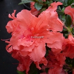 Rhododendron Encore Sunset