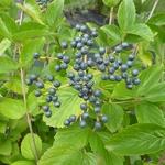 Viburnum bracteatum (2)