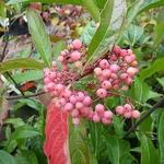 Viburnum nudum Pink Beauty (2)
