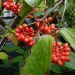 Viburnum setigerum (1)