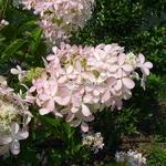 Hydrangea paniculata Ammarin (2)