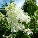 Hydrangea paniculata Ammarin (12)