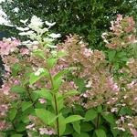 Hydrangea paniculata Early Sensation (11)