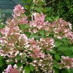 Hydrangea paniculata Early Sensation (9)