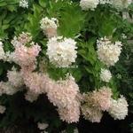 Hydrangea paniculata Grandiflora (3)