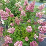 Hydrangea paniculata Mega Mindy (1)