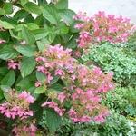 Hydrangea paniculata Pink Diamond