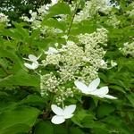 Hydrangea paniculata Praecox (3)