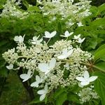 Hydrangea paniculata Praecox (4)