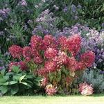 Hydrangea paniculata Diamant Rouge (3)