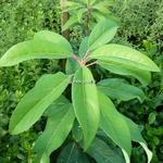 Daphniphyllum macropodum (3)