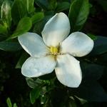 Gardenia jasminoides Kleim's Hardy