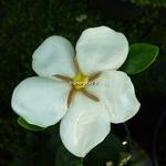 Gardenia jasminoides Kleims Hardy (2)
