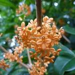 Osmanthus fragrans aurantiacus (1)