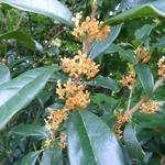 Osmanthus fragrans aurantiacus (4)