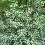 Osmanthus fragrans aurantiacus (3)