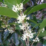 Osmanthus fragrans (2)