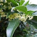Osmanthus fragrans (1)