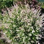Salix integra Hakuro Nishiki (5)