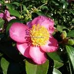 Camellia sasanqua Evangeline (4)