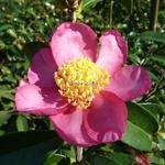 Camellia sasanqua Evangeline (1)