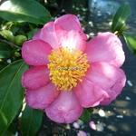 Camellia sasanqua Evangeline (2)