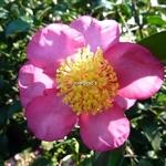 Camellia sasanqua Evangeline (3)