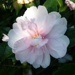 Camellia sasanqua Jean May (1)