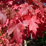 Acer freemanii AutumnBlaze (1)