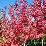 Acer freemanii AutumnBlaze (2)