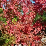 Acer freemanii AutumnBlaze (3)
