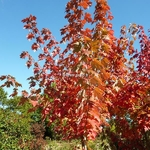 Acer freemanii AutumnBlaze