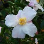 Camellia Festival of Lights (1)