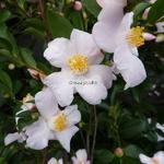 Camellia Festival of Lights (3)