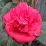 Camellia Fire Falls