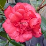 Camellia Fire Falls (3)