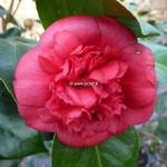 Camellia japonica Fire Falls
